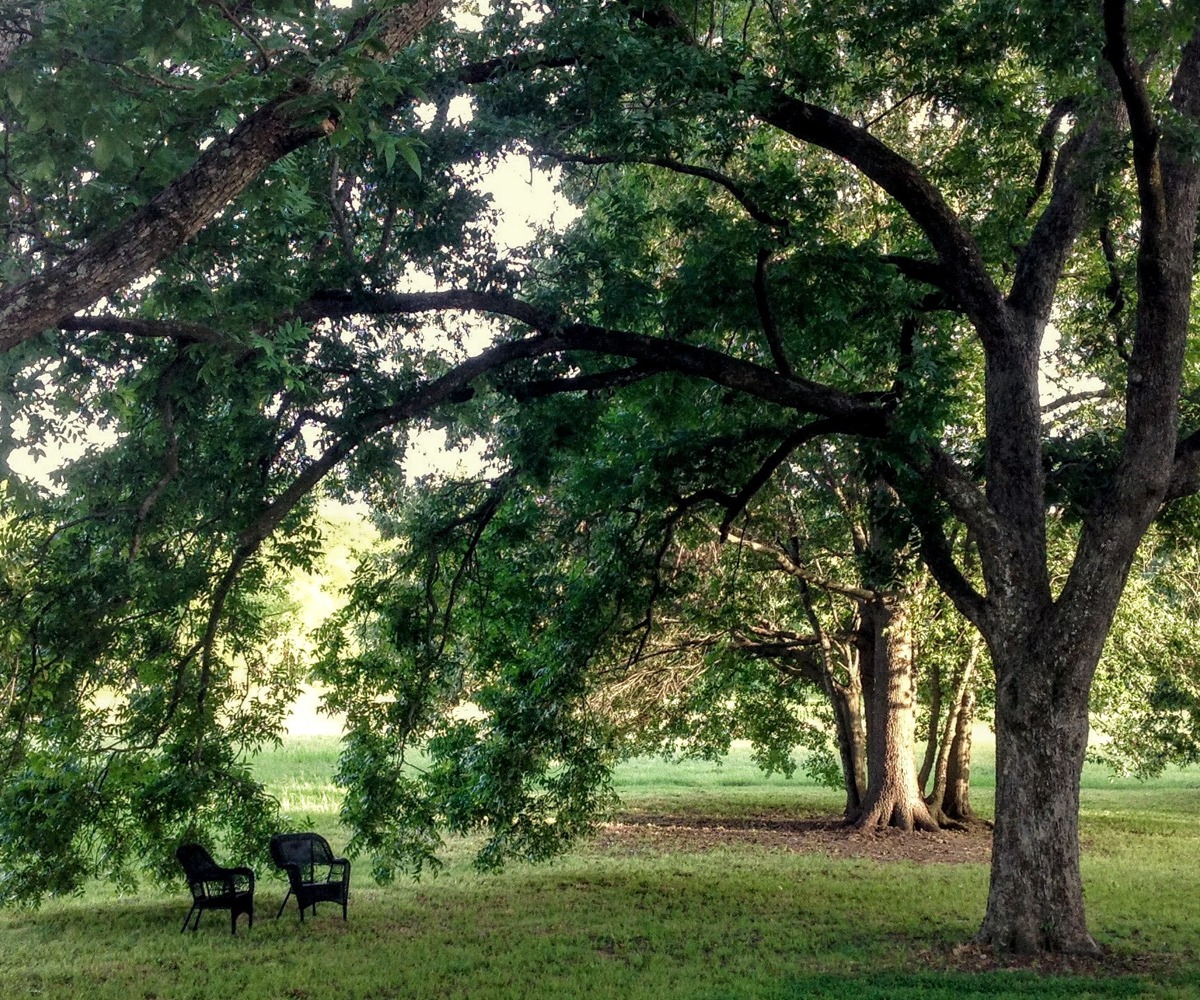 Tune Farm's Pecan Tree Canopy